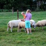schapen voeren